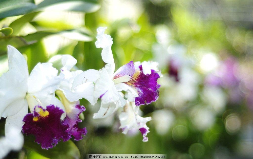 兰花 泰国 芭提雅 普吉岛 老虎 热带 花草 生物世界 摄影 300dpi jpg