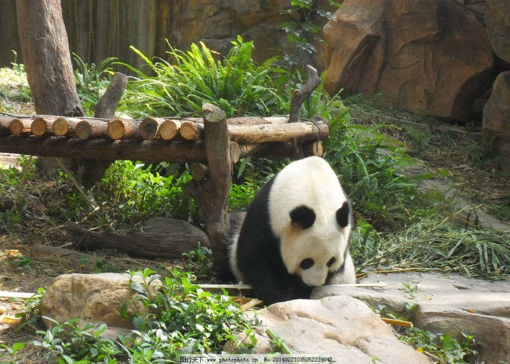 熊猫 国宝 胖 肥 动物 动物园 木 木头 吃 竹子 儿童 少年 多彩 宝贝