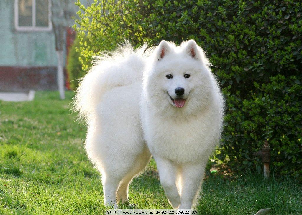 狐狸狗 狗狗 小狗 白色狗狗