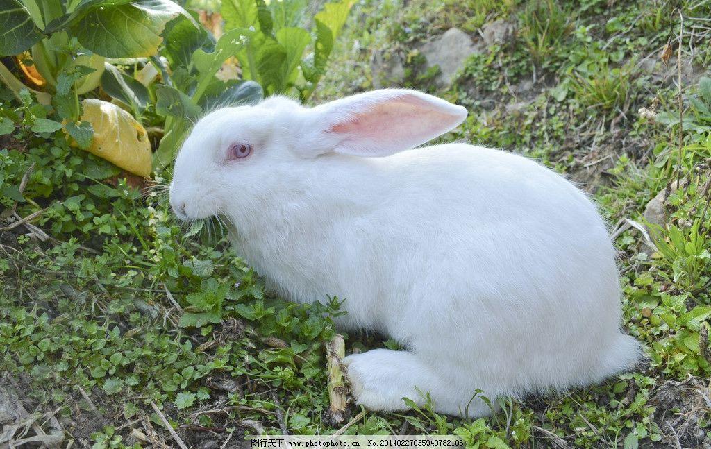 兔子 小动物 可爱 生物 生物世界 生物摄影 家禽家畜 摄影 240dpi jpg