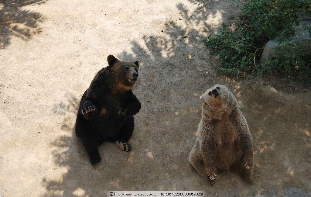 狗熊 动物园 石家庄动物园 灰熊 笨熊 黑熊 野生动物 生物世界