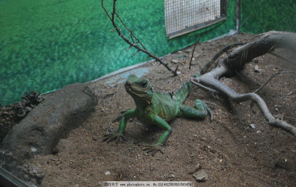 蜥蜴 动物园 石家庄动物园 巨蜥 壁虎 变色龙 动物 野生动物 生物世界