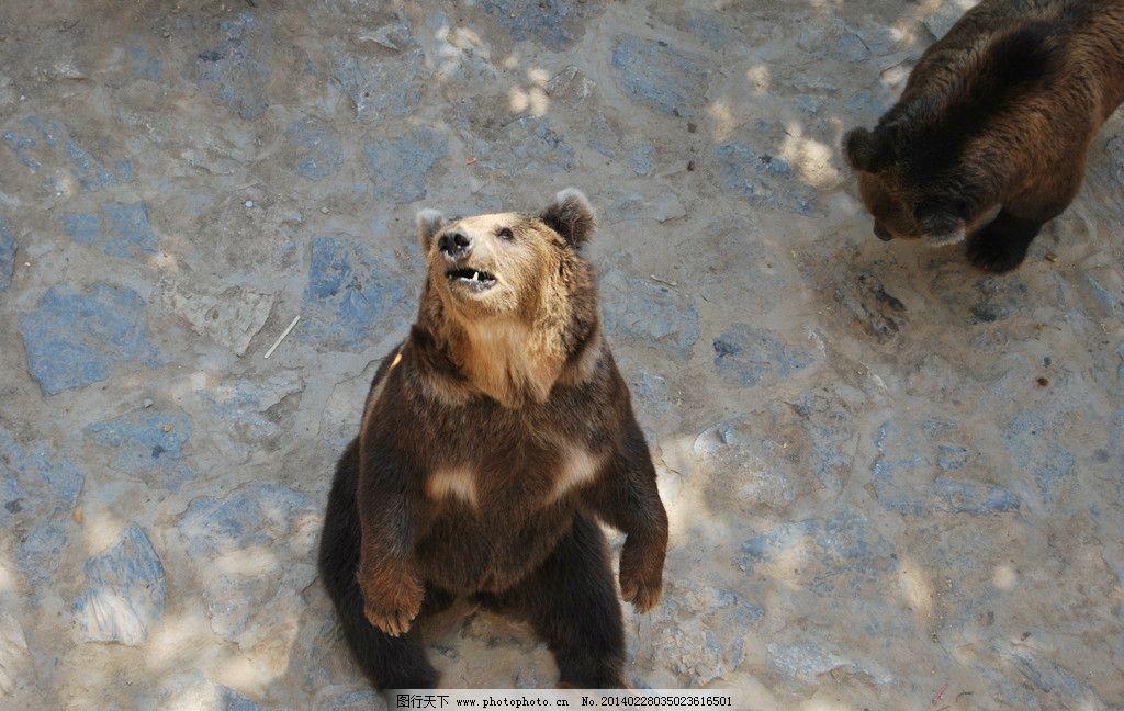 灰熊 动物园 石家庄动物园 狗熊 笨熊 黑熊 野生动物 生物世界