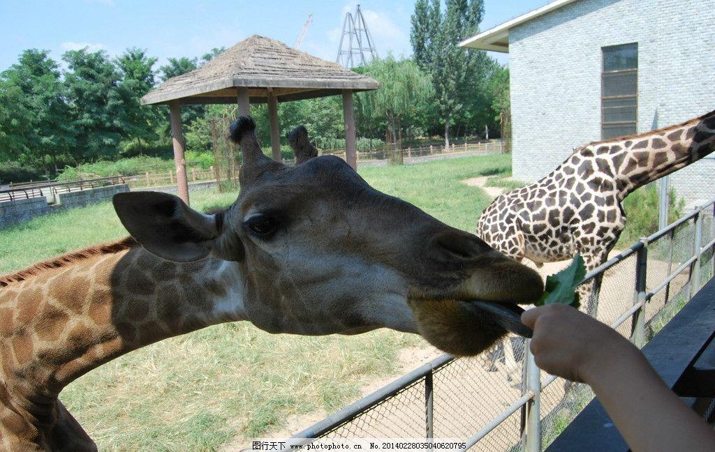 长颈鹿 动物园 石家庄动物园 园林 野生动物 生物世界 摄影