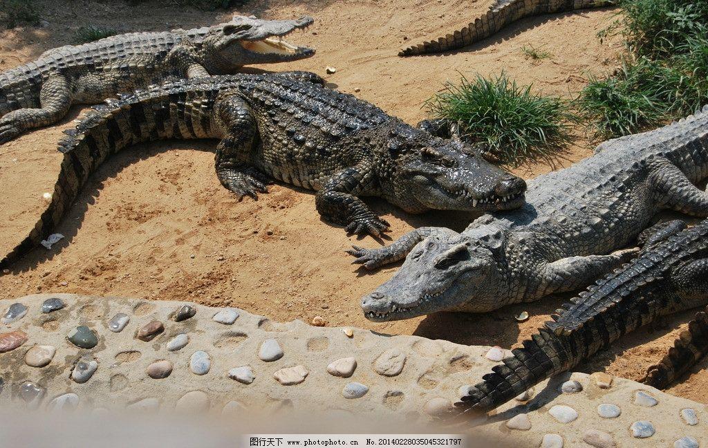 鳄鱼 动物园 石家庄动物园 大鳄鱼 扬子鳄 动物 野生动物 生物世界 摄