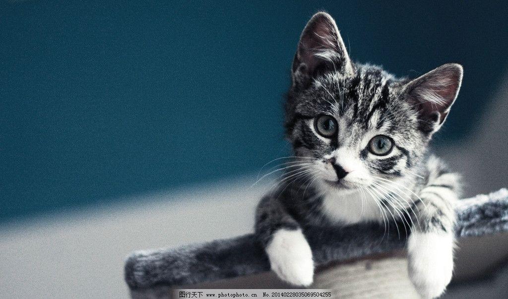 猫咪 宠物 喵星人 小猫 可爱 卖萌 萌宠 萌物 动物摄影 野生动物 生物