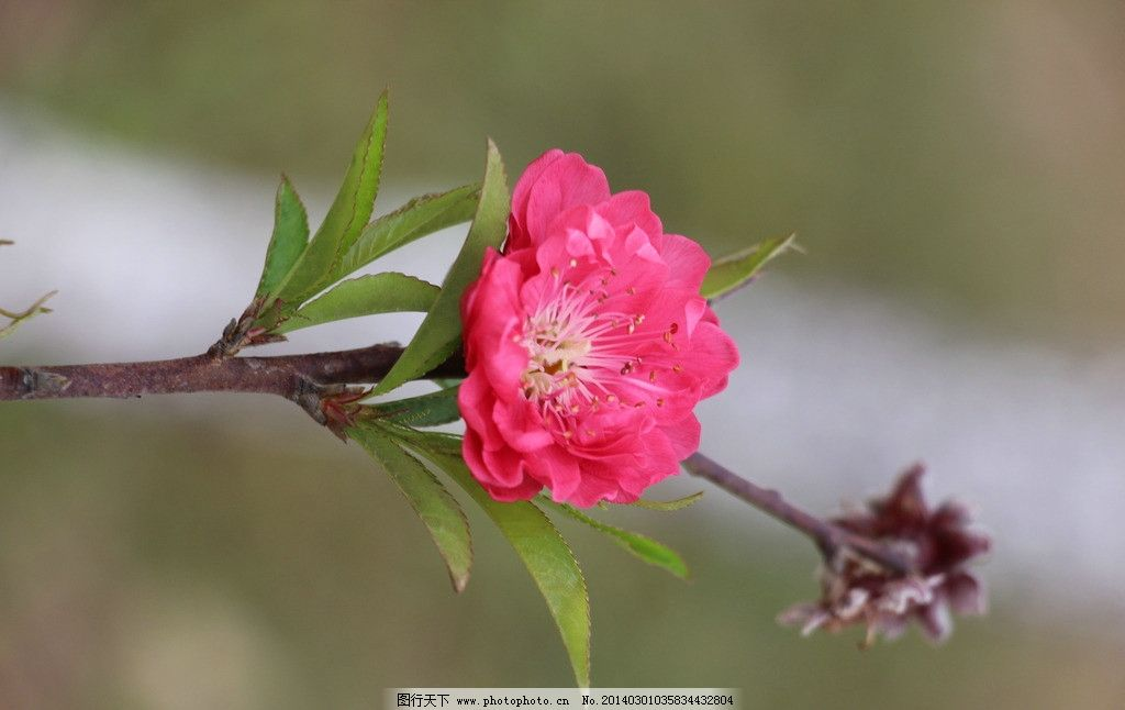 桃花 红花 春天 花朵 鲜艳 树枝 摄影