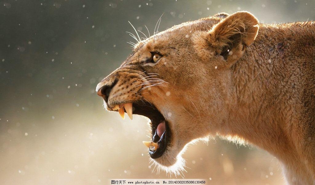 豹吼 豹子 猎豹 美洲豹 吼叫 野生动物 生物世界 摄影 72dpi jpg