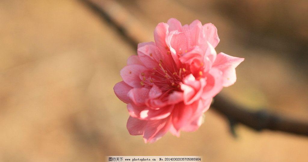 美丽的桃花 桃花 植物 花朵 红色 种植 春天 花蕊 花瓣 桃红 鲜花