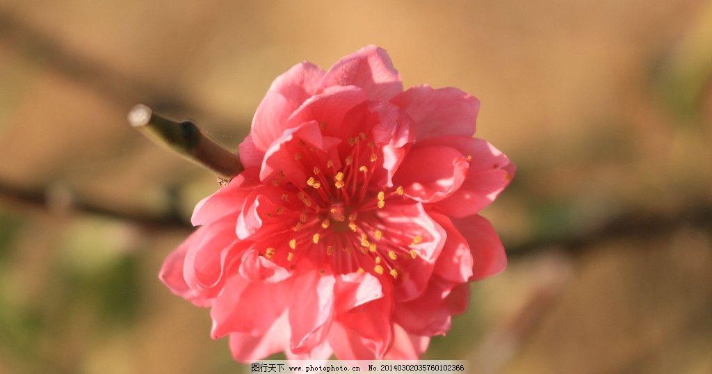 一朵美丽的桃花 桃花 植物 花朵 红色 种植 春天 花蕊 花瓣 桃红 鲜花