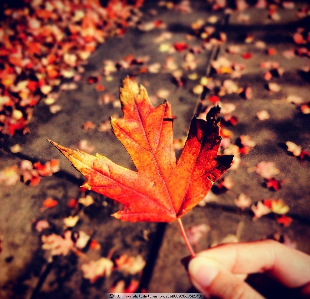 一叶知秋 红枫 枫叶 深秋 秋天 落叶 树木树叶 生物世界 摄影 72dpi j