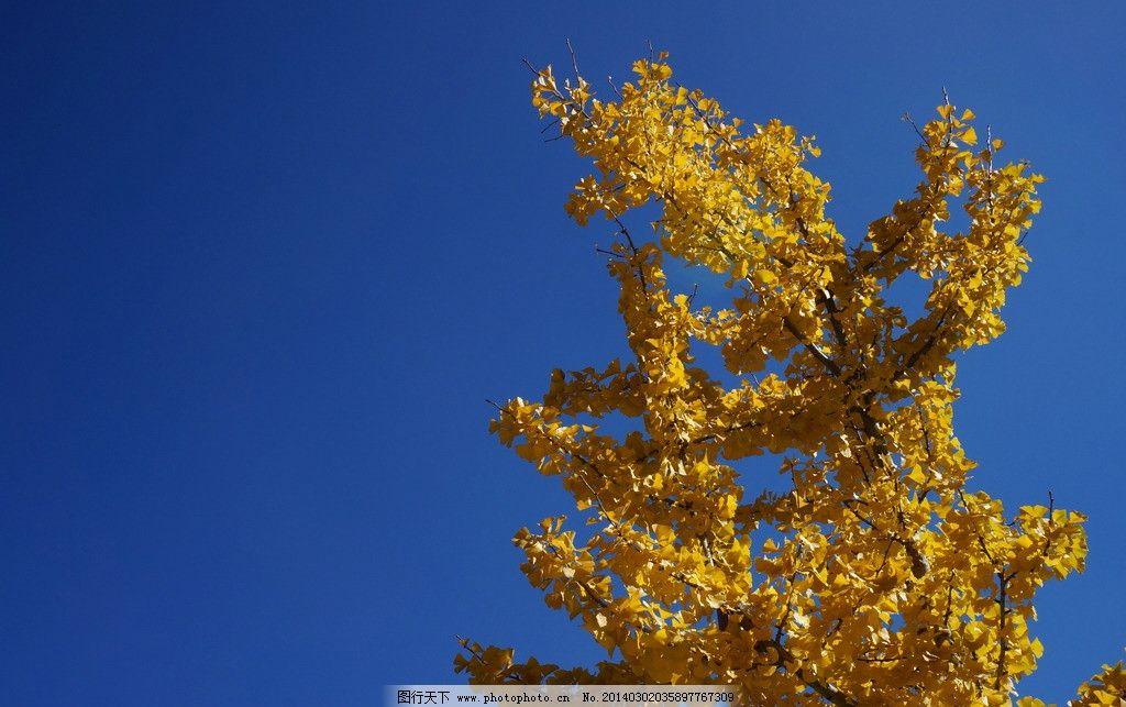 云南大理 云南 大理 旅游 景点 崇圣寺三塔 寺庙 风景 秋天 银杏 树木