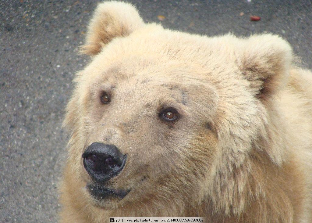 白熊 狗熊 熊熊 大熊 野生动物 生物世界 摄影