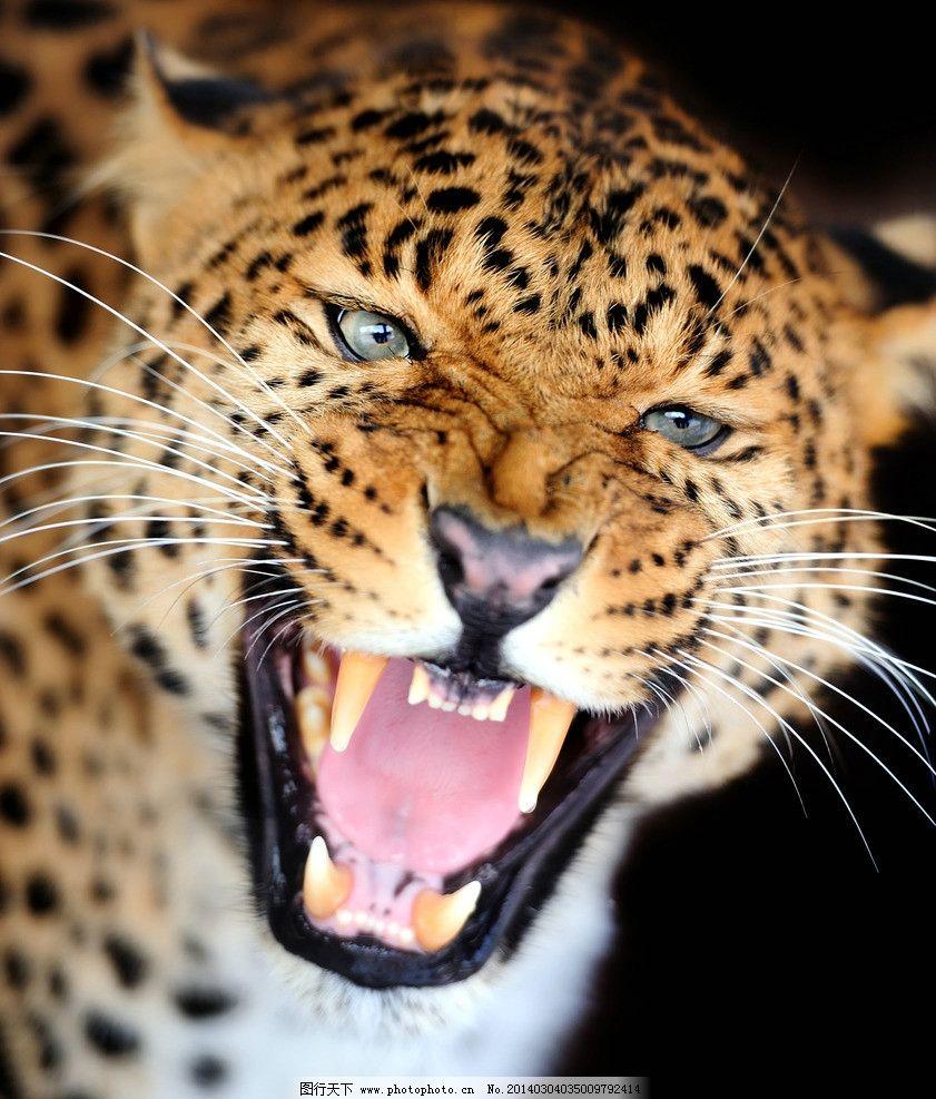 非洲豹 猎豹 豹子 金钱豹 美洲豹 野生动物 猛兽 凶猛 生物世界