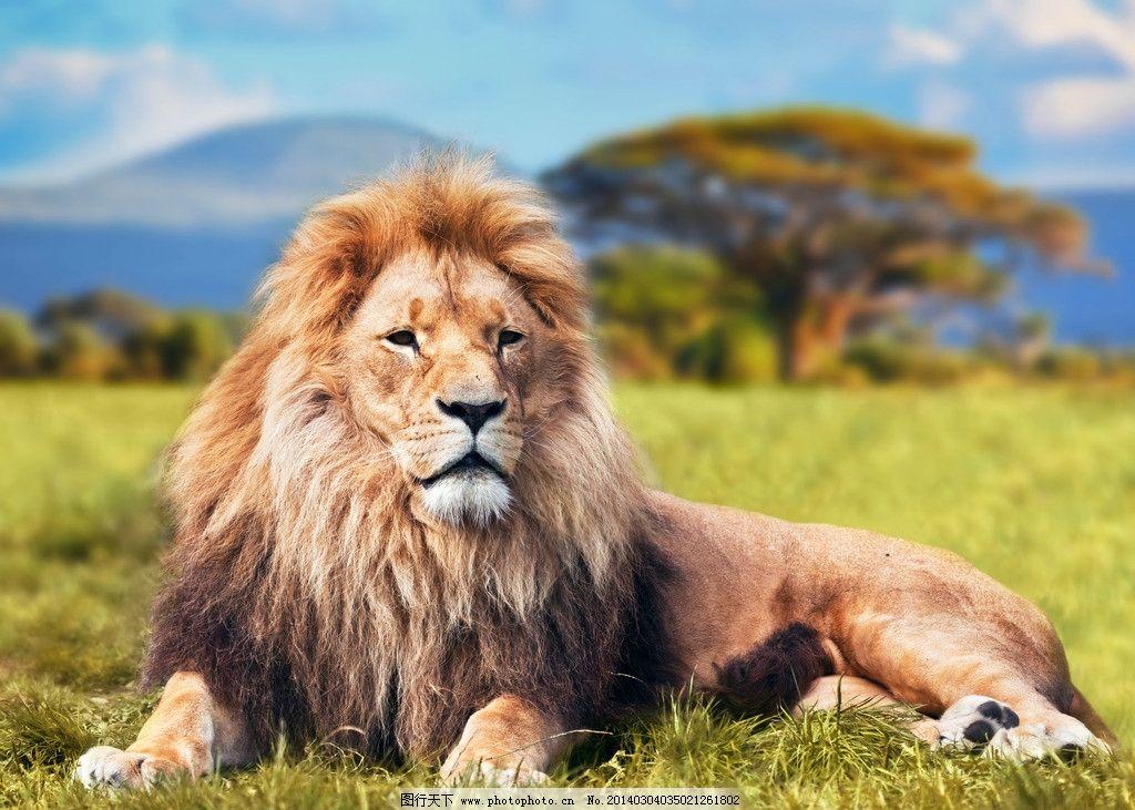 狮子 猫科动物 非洲草原