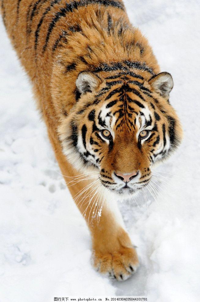 老虎 猫科动物 野生 雪地 东北虎 保护动物 濒危野生动物 百兽之王