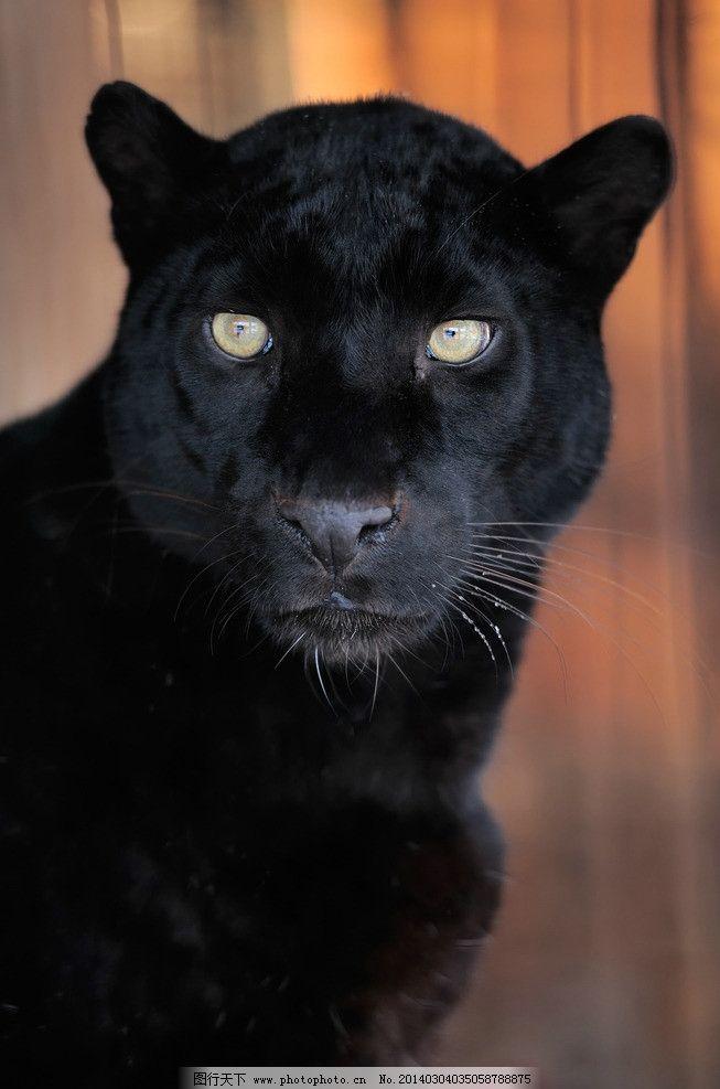 黑豹 豹子 野生动物 猛兽 凶猛 猎豹 生物世界 摄影