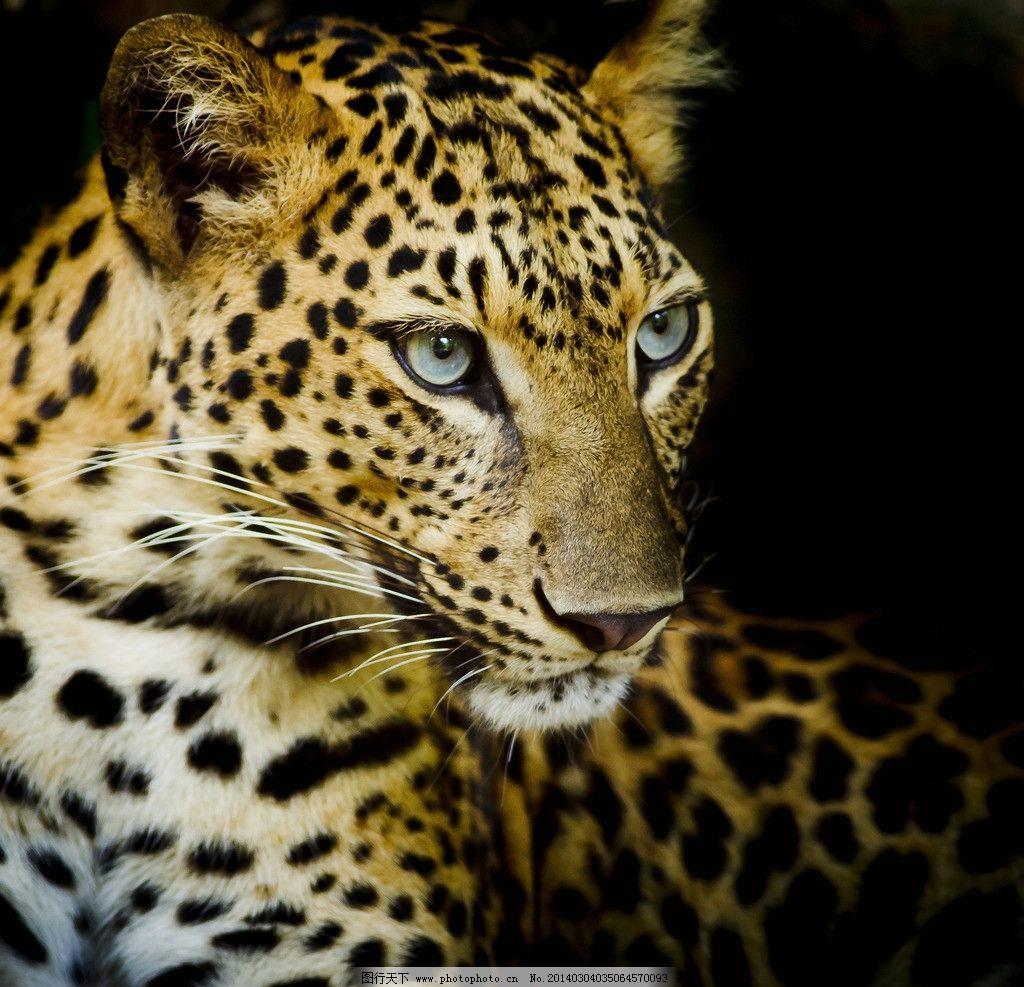 金钱豹 猎豹 豹子 美洲豹 野生动物 动物 猛兽 凶猛 生物世界 摄影