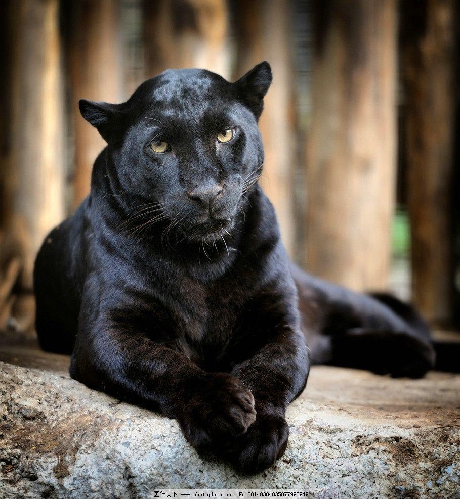 黑豹 豹子 野生动物 动物 猛兽 凶猛 猎豹 生物世界 摄影 300dpi jpg