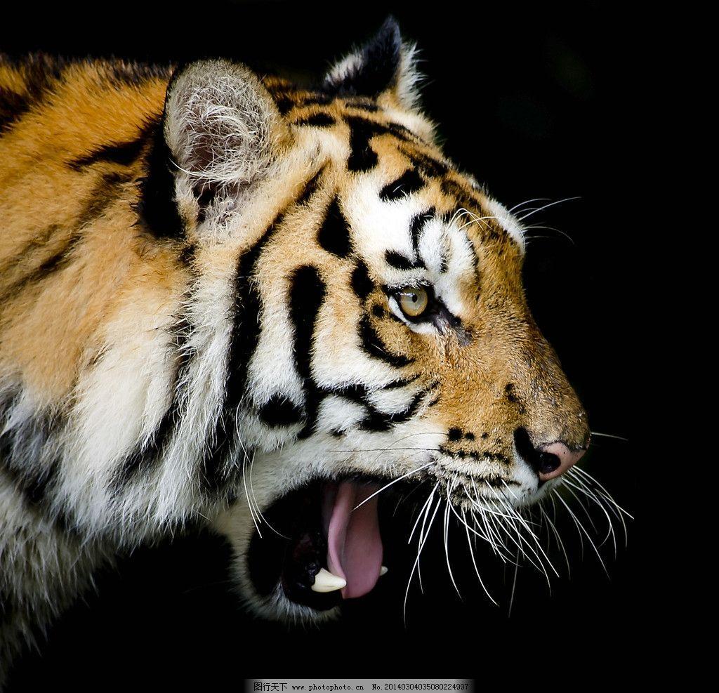 老虎 猫科动物 野生 东北虎 保护动物 濒危野生动物 百兽之王 动物 非