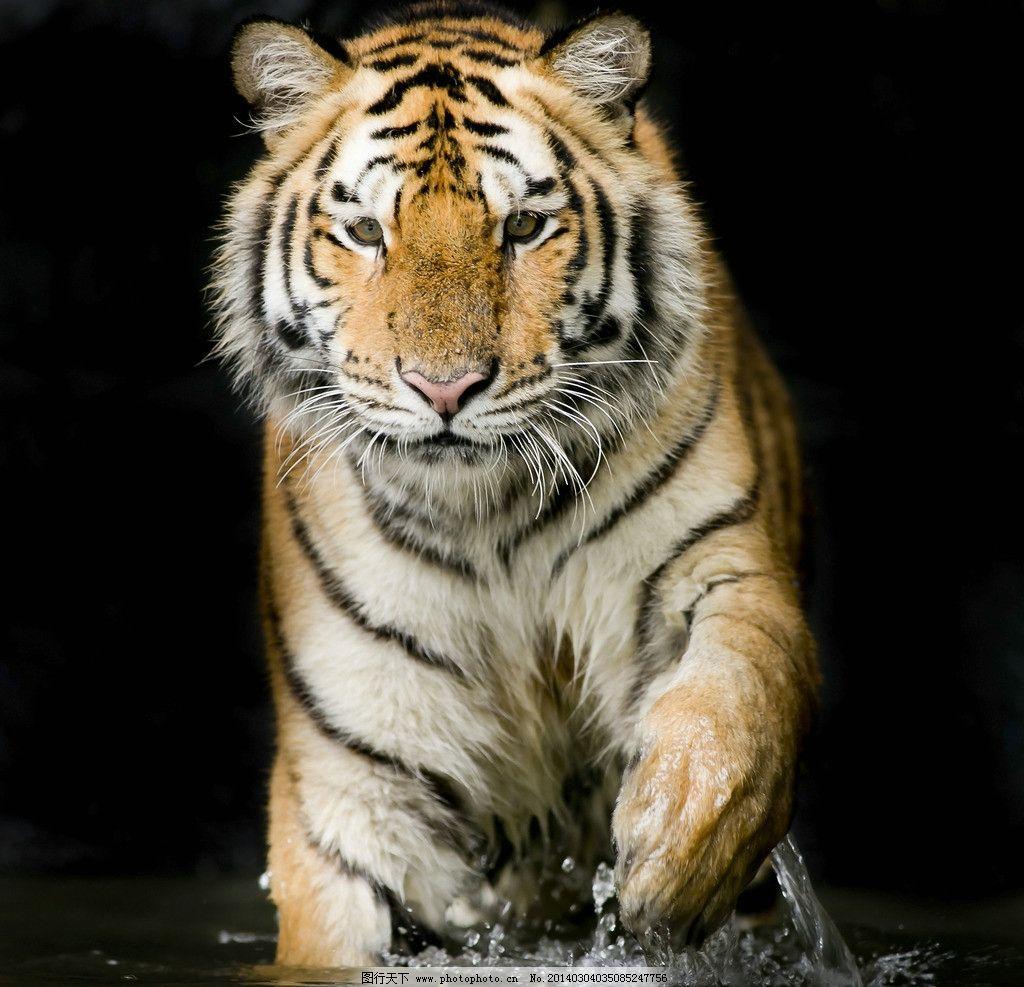 老虎 猫科动物 野生 雪地