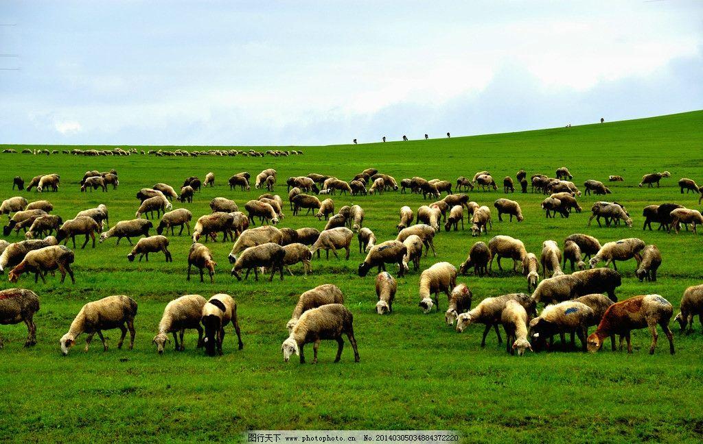 草原牧场 内蒙古 呼伦贝尔 天空 云朵 山坡 草原 牧场 绿草 动物 绵羊