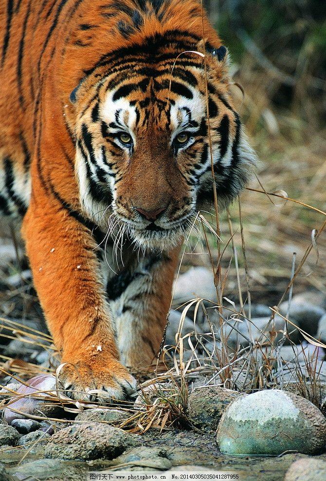 老虎 动物图片 野生动物图片 走兽 濒危动物 珍稀动物 野生动物保护