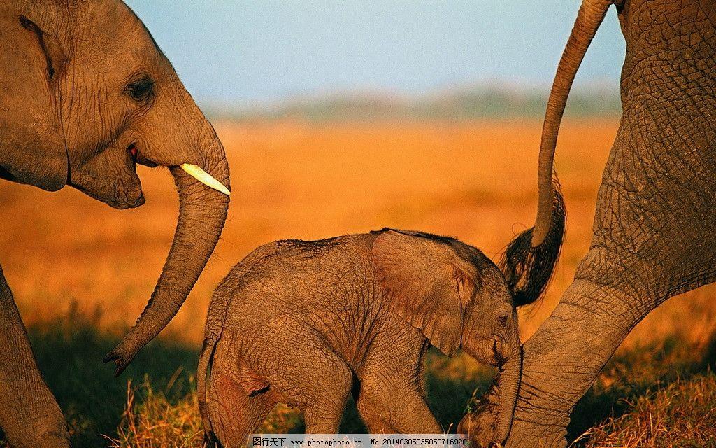 大象 动物图片 野生动物图片 野生动物 走兽 濒危动物 珍稀动物 野生