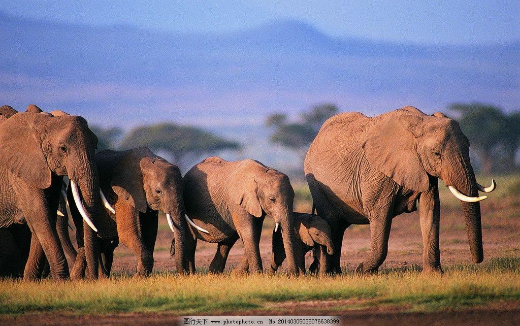 大象 动物图片 野生动物图片 走兽 濒危动物 珍稀动物 野生动物保护