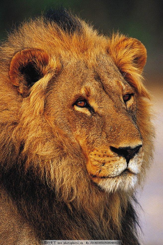 狮子 动物图片 野生动物图片 野生动物 走兽 濒危动物 珍稀动物 野生