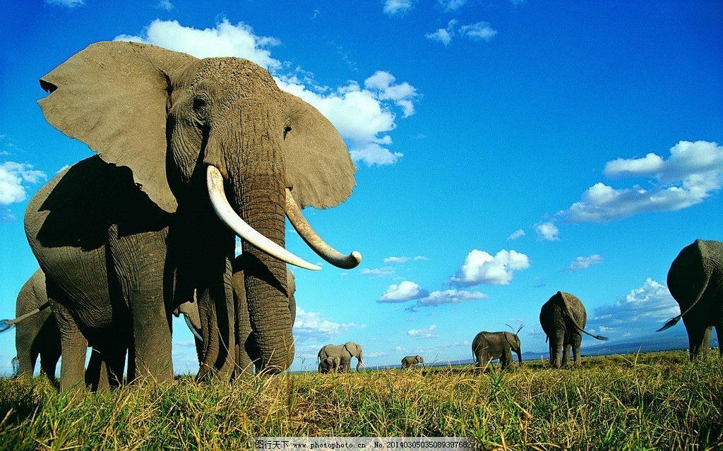 大象 动物图片 野生动物图片
