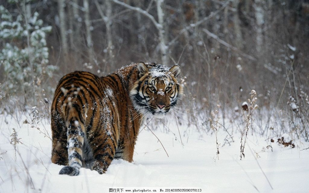 老虎 动物图片 野生动物图片 野生动物 走兽 濒危动物 珍稀动物 野生动物保护 森林之王 野生动物系列五 生物世界 摄影 300DPI JPG