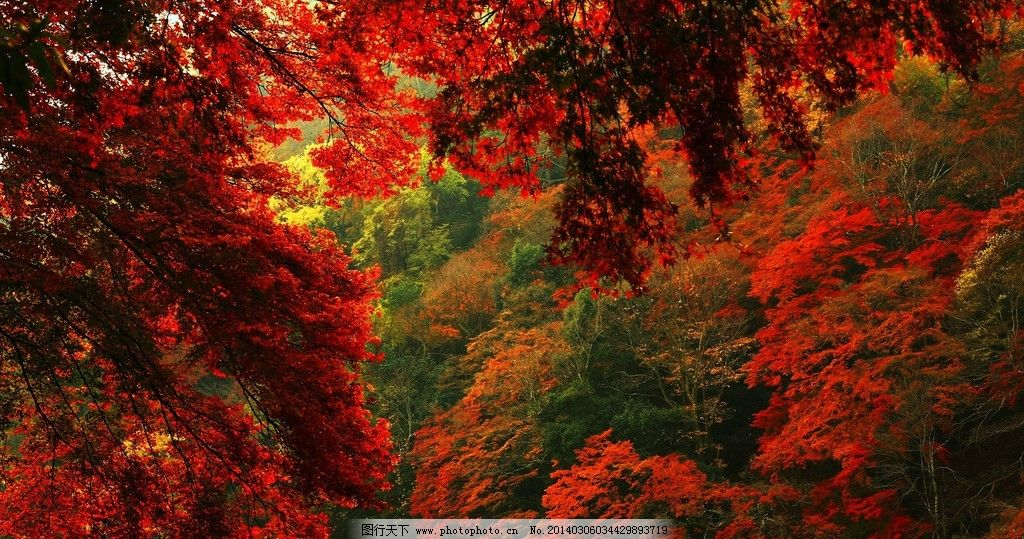 红叶 秋天 枫叶 温暖 山间 自然风光 山水风景 自然景观 摄影 72dpi图片