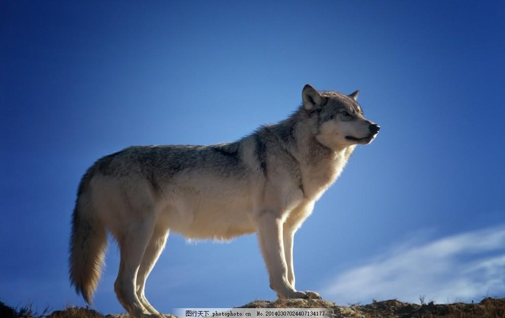 高山狼 狼 狼狗 蓝天 高山 高原 野生动物 生物世界 摄影 72dpi jpg