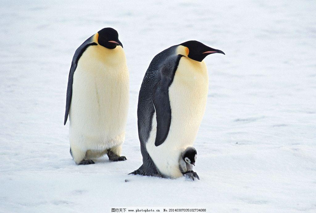 壁纸 动物 企鹅 1024_690