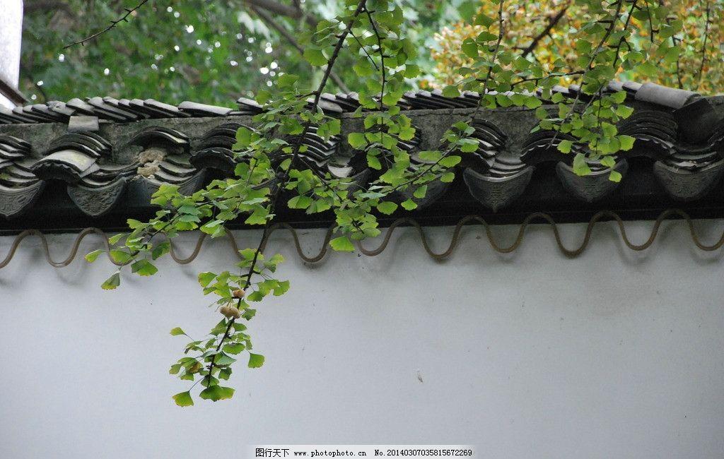 银杏叶 银杏 灰瓦 白墙 江南园林 园林建筑 徽派建筑 树木树叶 生物