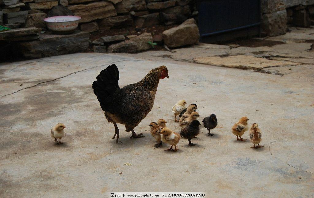 小鸡和鸡妈妈图片
