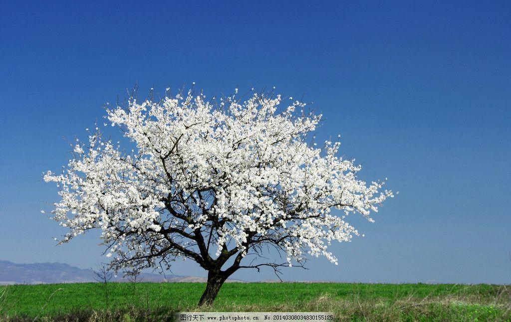樱花树 樱花 树 树木 白花 远处 蓝天树木 自然风景 自然景观 摄影 30