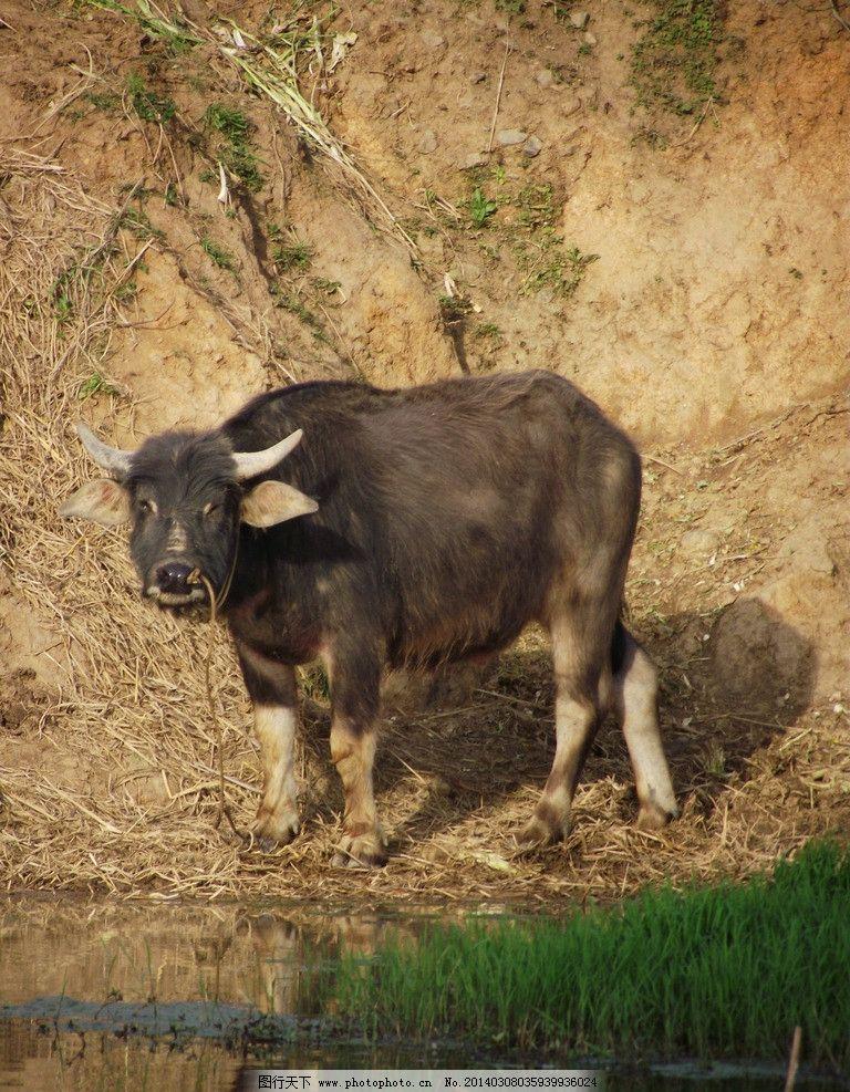 水牛侧面 牛 水牛 泥巴草 草地 动物 家禽家畜 生物世界 摄影 72dpi