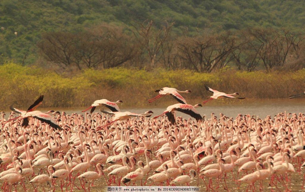 火烈鸟 非洲 肯尼亚 成群结队 野生动物 国外旅游 旅游摄影 摄影 72