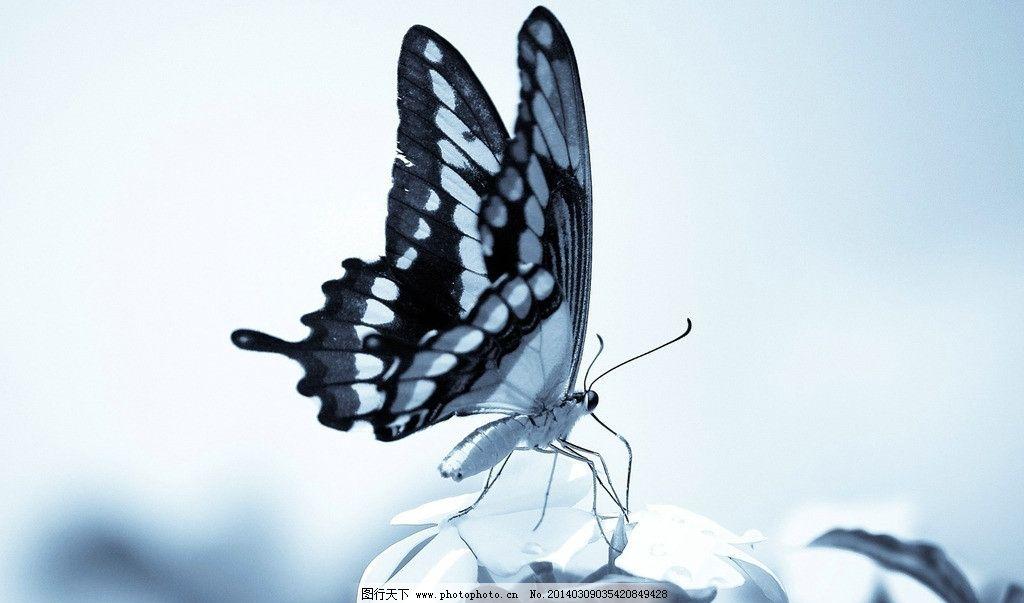 蝴蝶 生态 自然界 昆虫图片 昆虫纲 节肢动物门 insect 无骨骼 昆虫
