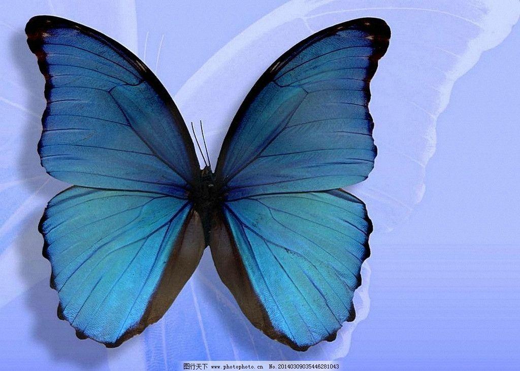 蝴蝶 生态 自然界 昆虫图片 昆虫纲 节肢动物门 insect 无骨骼 昆虫系