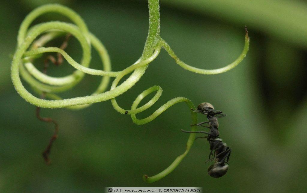蚂蚁 生态 自然界 昆虫图片 昆虫纲 节肢动物门 insect 无骨骼 昆虫