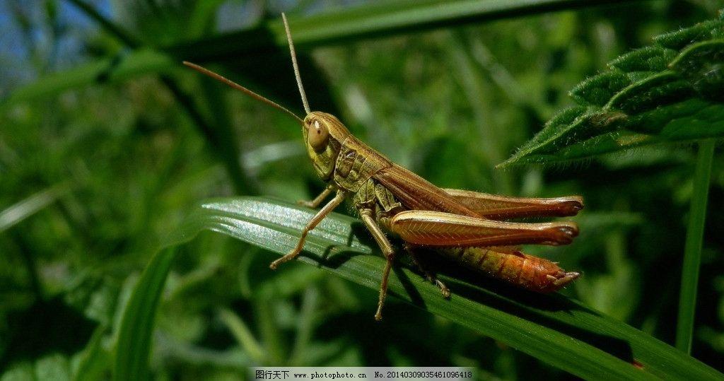 蝗虫 生态 自然界 昆虫图片 昆虫纲 节肢动物门 insect 无骨骼 昆虫