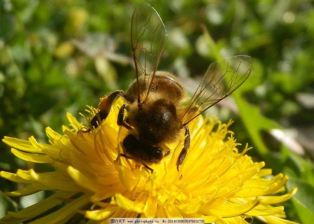 蜜蜂 生态 自然界 昆虫图片 昆虫纲 节肢动物门 无骨骼 昆虫系列一