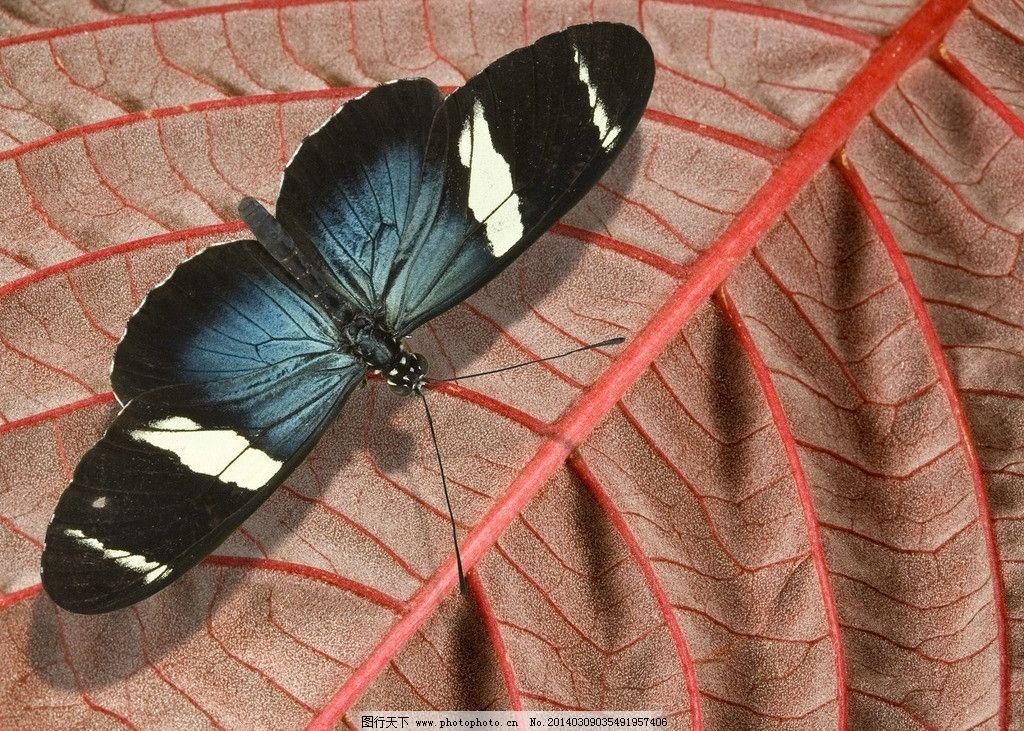 蝴蝶 生态 自然界 昆虫图片 昆虫纲 节肢动物门 无骨骼 昆虫系列一