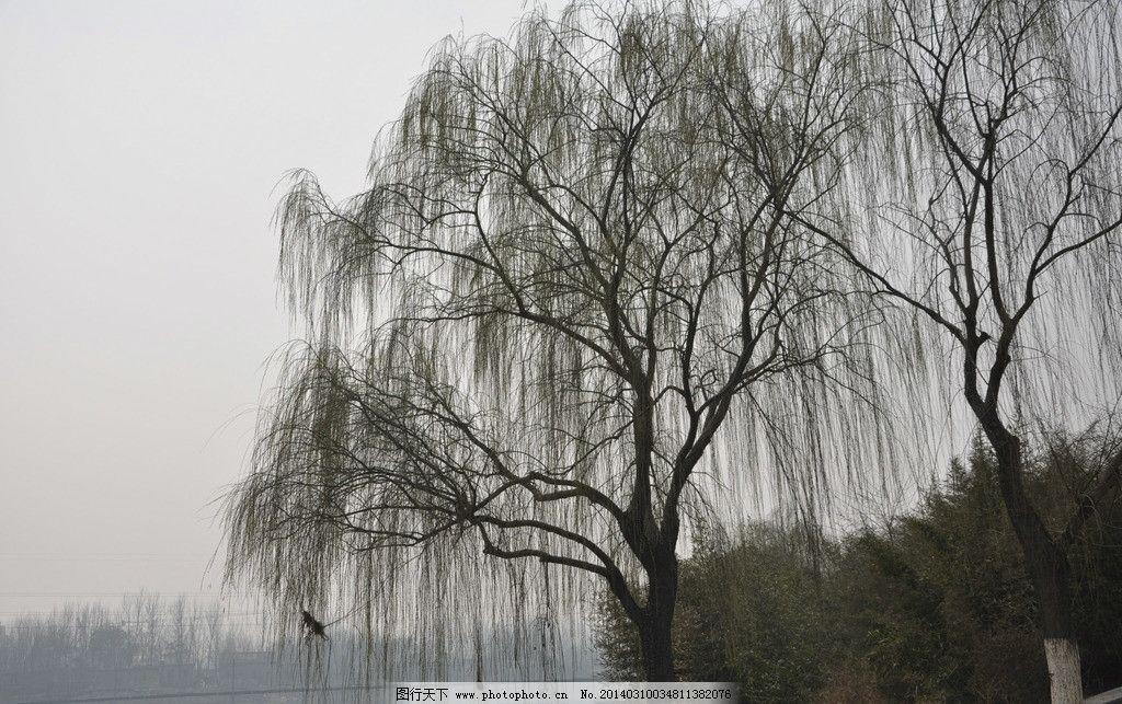 垂柳 春天 柳树 三月 绿色 自然风景 自然景观 摄影