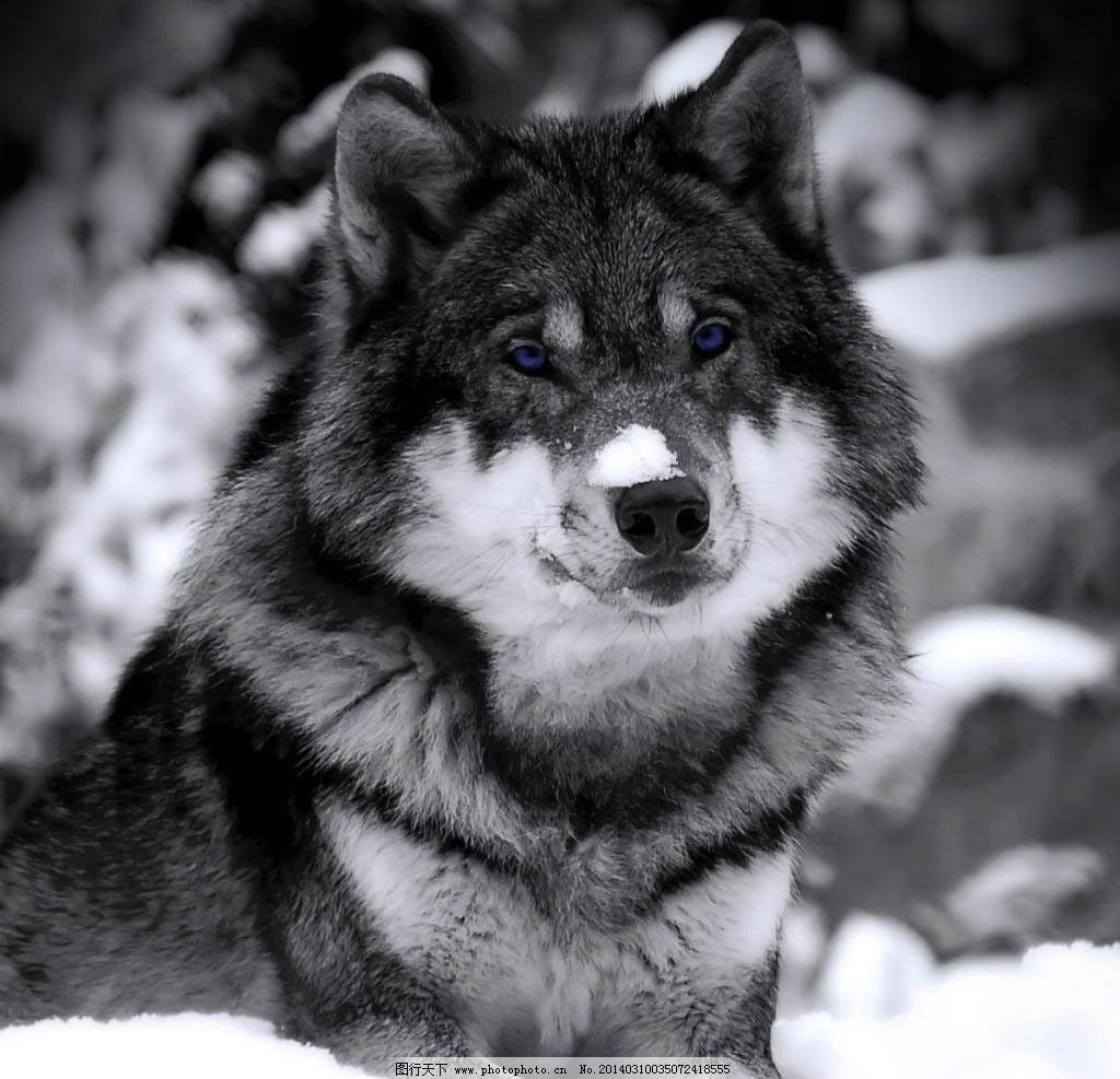 狼卧雪 野生动物