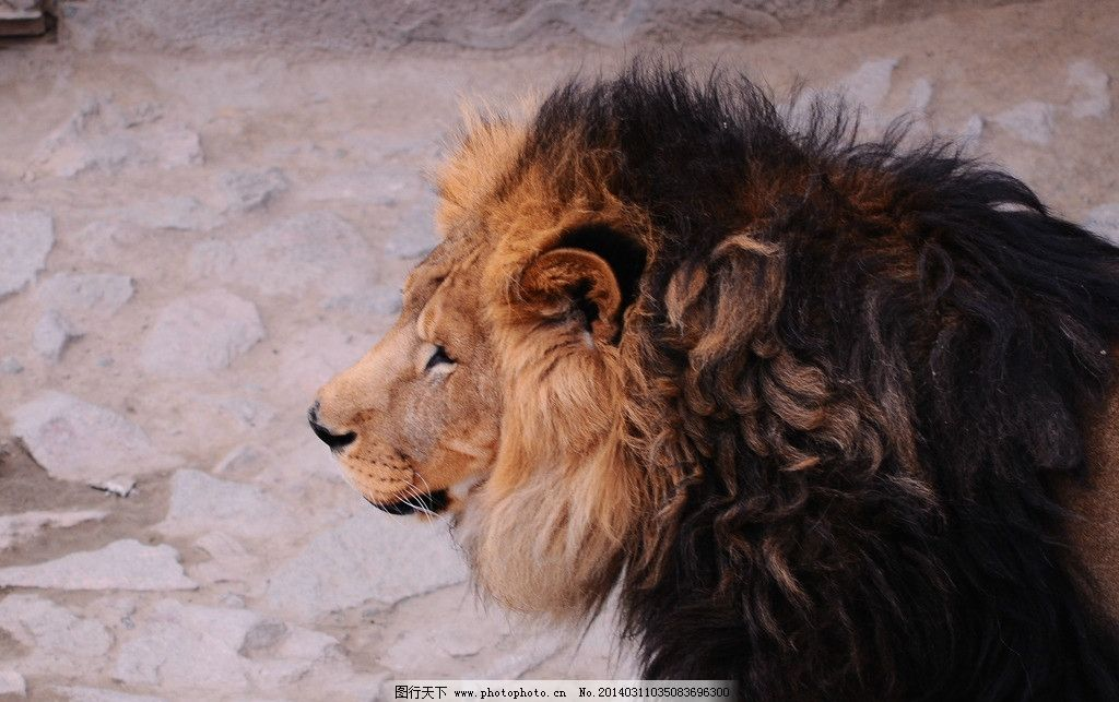 雄狮 兽王 狮子 非洲 动物