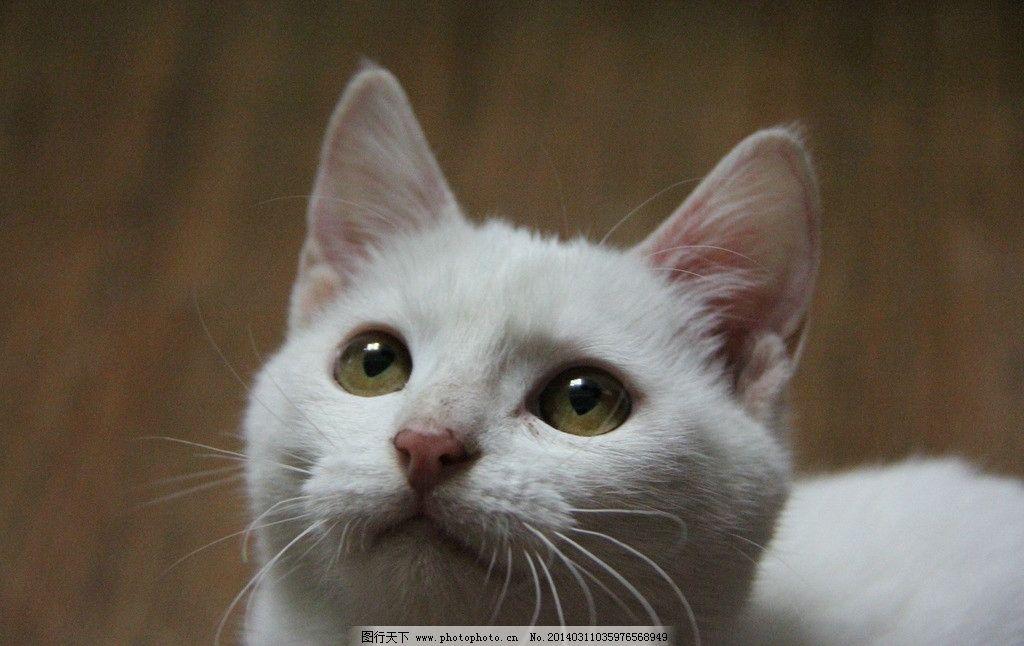 白猫 特写 萌宠 宠物 摄影
